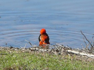 Bathing Red Bishop