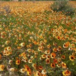 Orange daisies of the Biedouw Valley