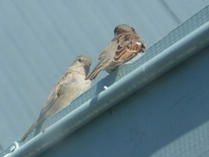 Sparrows sheltering